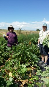 Janet and Karen Harvesting Rhubarb