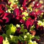 Vibrant Baby Lettuce